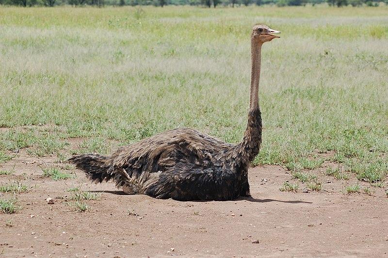 Ostrich - Creative Commons via Joachim Huber.